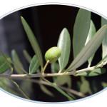 写真:オリーブの木