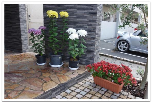 写真:菊の鉢